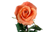 """Orange Unique"" Orange Roses (Pack of 100 stems) - ifloral.com"