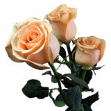 """Cumbia"" Peach Wholesale Roses (Pack of 100 stems) - ifloral.com"