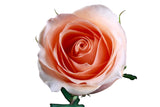 """Versilia"" Peach Roses - Popular (Pack of 100 stems) - ifloral.com"