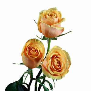 """Euforia"" Peach Outside w/ yellow inside Roses (Pack of 100 stems) - ifloral.com"