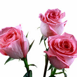 """Jeimy"" Pink Roses (Pack of 100 stems) - ifloral.com"