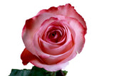 """Romance"" Pink Roses (Pack of 100 stems) - ifloral.com"