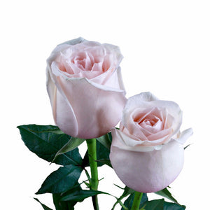 """La Perla"" Pink Roses (Pack of 100 stems) - ifloral.com"