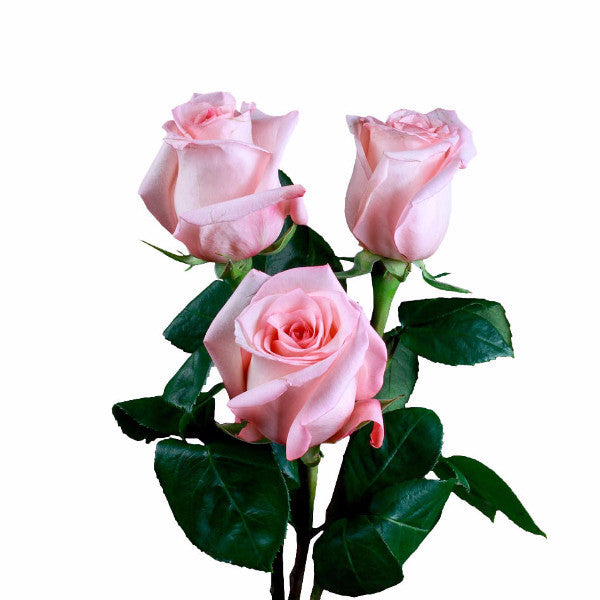 """Engagement"" Pink Roses (Pack of 100 stems) - ifloral.com"