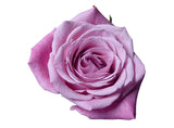 """Hot Escimo"" Pink Roses (Pack of 100 stems) - ifloral.com"