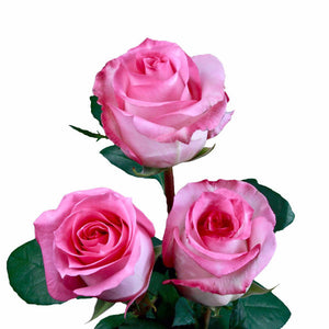 """Priceless"" Pink Roses (Pack of 100 stems) - ifloral.com"
