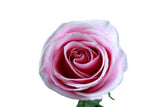 """Rosita Vendela"" Pink Roses (Pack of 100 stems) - ifloral.com"