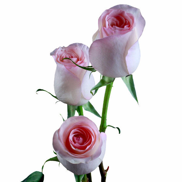 """Senorita"" Pink Roses (Pack of 100 stems) - ifloral.com"