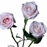 """Sweet Escimo"" Light Pink Roses (Pack of 100 stems) - ifloral.com"
