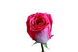 """Verdi"" Pink Roses (Pack of 100 stems) - ifloral.com"