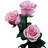 """Geraldine"" Pink Roses (Pack of 100 stems) - ifloral.com"
