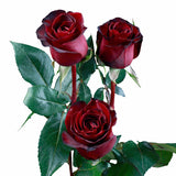 """Black Pearl"" Red Roses (Pack of 100 stems) - ifloral.com"