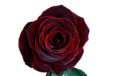 """Black Baccara"" Red Roses (Pack of 100 stems) - ifloral.com"