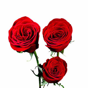"""Freedom"" Wholesale Red Roses (Pack of 100 stems) - ifloral.com"