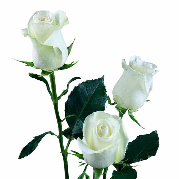 Alba (Very light green) Roses (Pack of 100 stems) - ifloral.com