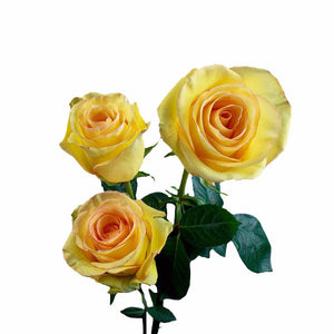"""Deja Vu"" Yellow Roses (Pack of 100 stems) - ifloral.com"