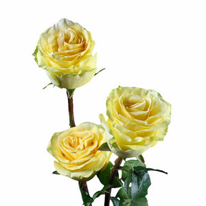 """Yellow Finesse"" Yellow Roses (Pack of 100 stems) - ifloral.com"