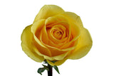"""Gold Strike"" Wholesale Yellow Roses (Pack of 100 stems) - ifloral.com"