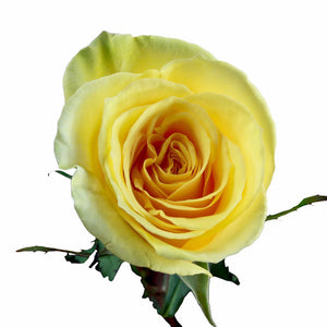 """Gran Dorado"" Yellow Roses (Pack of 100 stems) - ifloral.com"