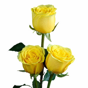 """High and Exotic"" Yellow Roses (Pack of 100 stems) - ifloral.com"