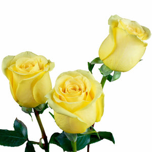 """Hummer"" Yellow Roses (Pack of 100 stems) - ifloral.com"