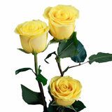 """Sonrisa"" Yellow Roses (Pack of 100 stems) - ifloral.com"