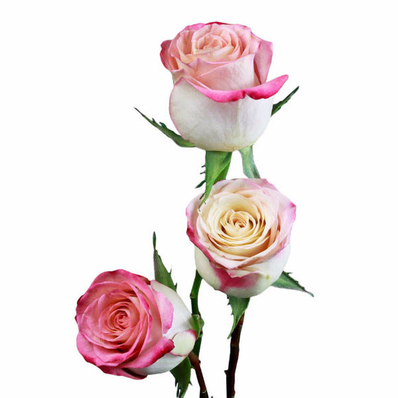 Showtime Groovy Roses Bi-Color Coral Pink and Cream (Pack of 100 stems) - ifloral.com