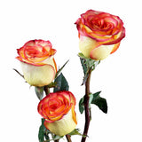 High and Magic Roses Bi-Color Yellow and Red (Pack of 100 stems) - ifloral.com