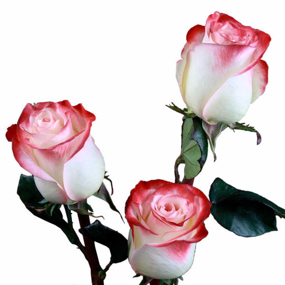 Farfalla Roses Bi-Color Cream and Orange (Pack of 100 stems) - ifloral.com