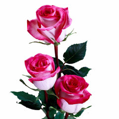 Classic Cezanne Roses Bi-Color Pink and White (Pack of 100 stems) - ifloral.com