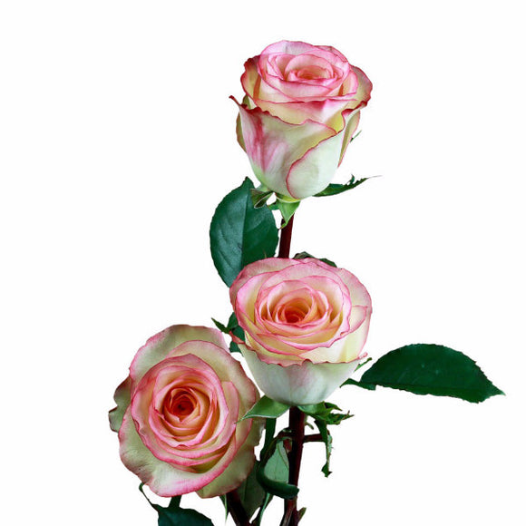 Malu Roses Bi-Color Cream Pink and White (Pack of 100 stems) - ifloral.com