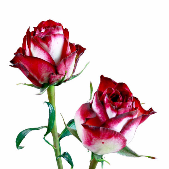 Absurda Roses Bi-Color Cream w/ Pink (Pack of 100 stems - ifloral.com