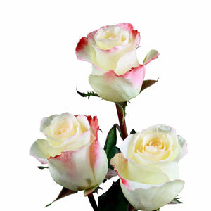 Aubade Roses Bi-Color Cream w/ Red (Pack of 100 stems - ifloral.com
