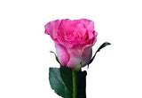 Malibu Roses Bi-Color Pink and White (Pack of 100 stems) - ifloral.com