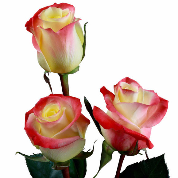 Florida Roses Bi-Color Orange and Yellow (Pack of 100 stems) - ifloral.com