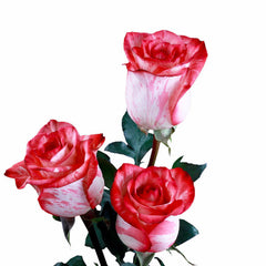 High and Twinkle Roses Bi-Color White and Red (Pack of 100 stems) - ifloral.com