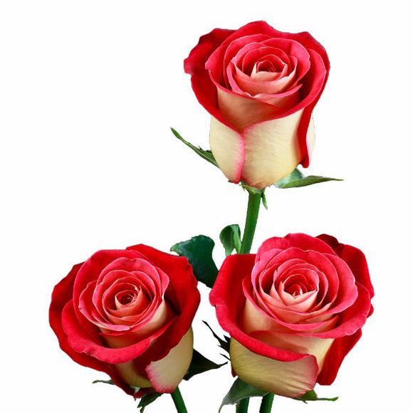 Friendship Roses Bi-Color Yellow and Red (Pack of 100 stems) - ifloral.com