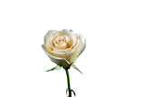"Cream ""Timeless"" Farm Fresh Roses (Pack of 100 stems) - ifloral.com"