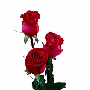 """High and Mora"" Dark Pink Roses (Pack of 100 stems) - ifloral.com"