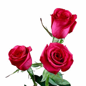 Hot Paris Fuchsia Roses (Pack of 100 stems) - ifloral.com