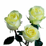 """Capirinha"" Yellow Roses (Pack of 100 stems) - ifloral.com"