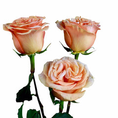 """Finesse"" Peach Bulk Roses (Pack of 100 stems) - ifloral.com"