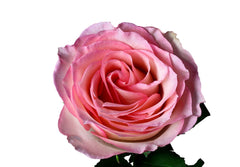 """Esperance"" Pink Roses (Pack of 100 stems) - ifloral.com"