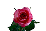 """Dekora"" Pink Roses (Pack of 100 stems) - ifloral.com"