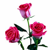 """Latin Breeze"" Hot Pink Roses (Pack of 100 stems) - ifloral.com"