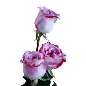 """Pink Farfalla"" Pink Roses (Pack of 100 stems) - ifloral.com"