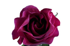 """Mamy Blue"" Purple Roses (Pack of 100 stems) - ifloral.com"