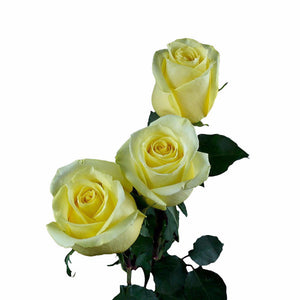 """Tara"" Yellow Roses (Pack of 100 stems) - ifloral.com"
