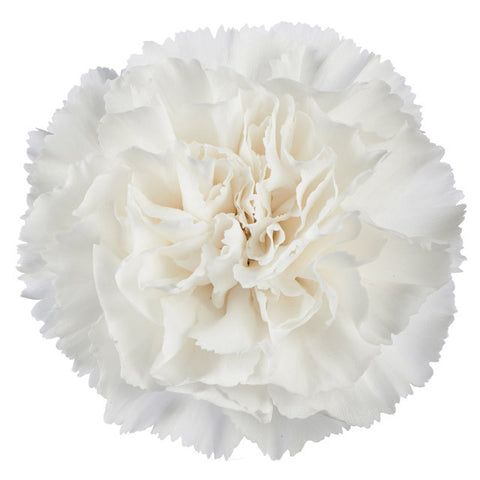 White Standard Carnations Wholesale, Fancy Grade (Pack of 150 stems)