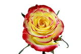 Latin Beauty Roses Bi-Color Yellow and Orange (Pack of 100 stems) - ifloral.com